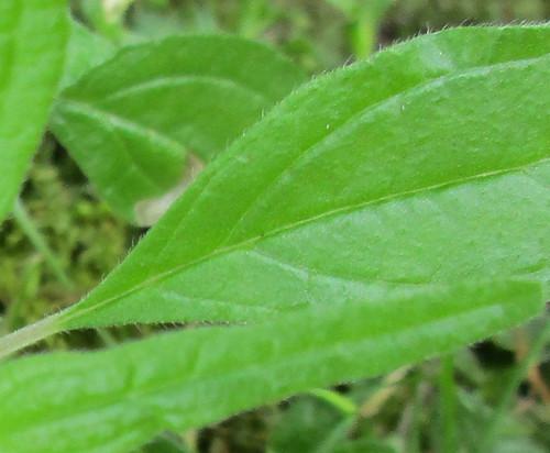 Cucumber Weed Parietaria pensylvanica