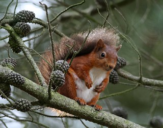 Red Squirrel | by Hilary Chambers (catching up again after holiday)