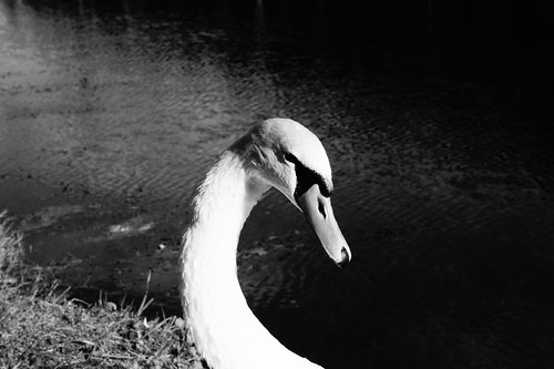 Swan B&W Close Portrait | by Jay Jay Kane