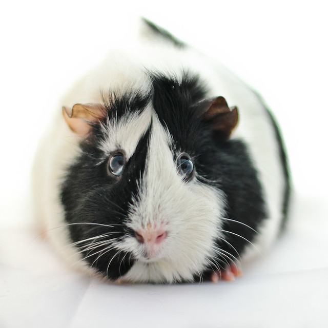 Guinea pig flickr for Guinea pig pictures free