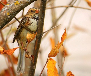 Immature Harris's Sparrow - Zonotrichia querula | by N.Clark (Internet Difficulty)