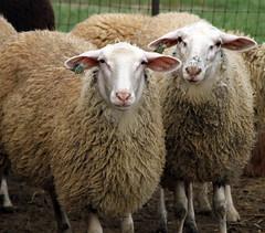 Dairy ewe lambs