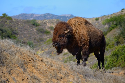 Wild Buffalo on Catalina Island | by XLTimbo