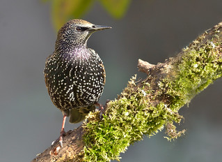 Starling | by Emilpix