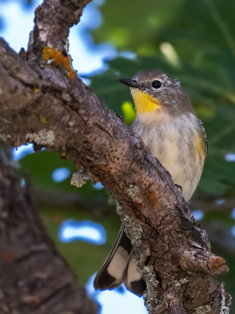 Yellow-rumped-Warbler-2-7D2-120816