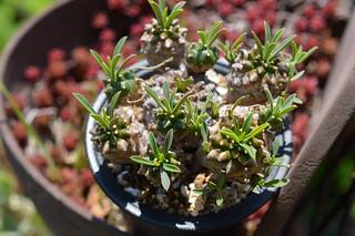 DSC_3144 Euphorbia 'KAIMAGYOKU'  ユーフォルビア 怪魔玉