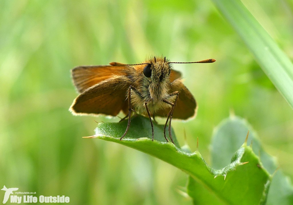 P1030575 - Small Skipper, Wicken Fen