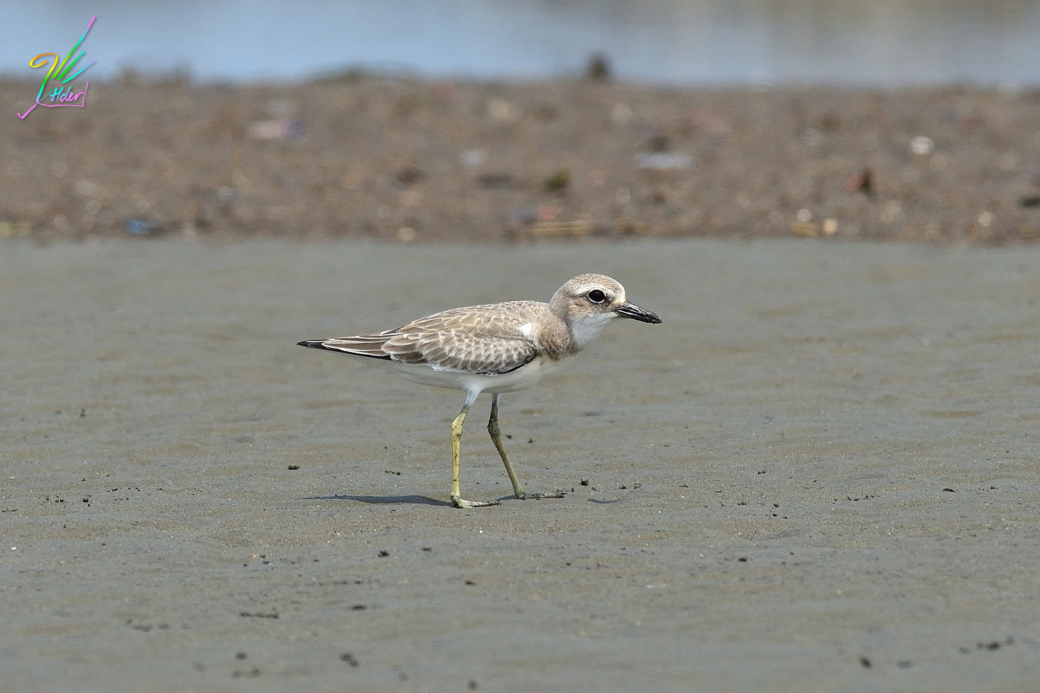 Greater_Sand_Plover_3007