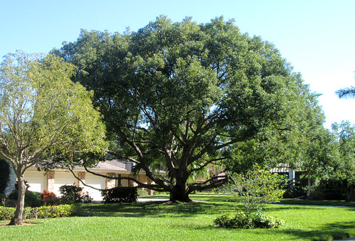 Sarasota - Camphor Tree in The Landings