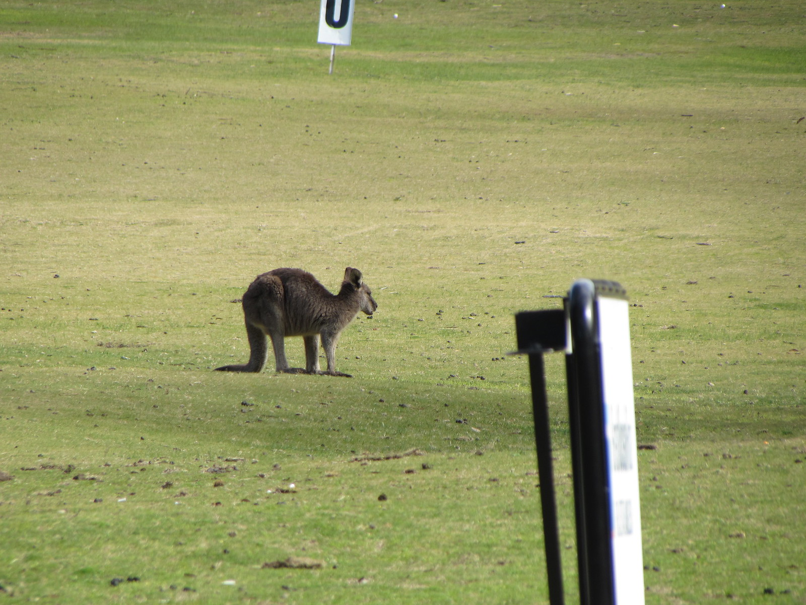 Kangaroo at a golf course (hat tip: Lonely Planet Guide)