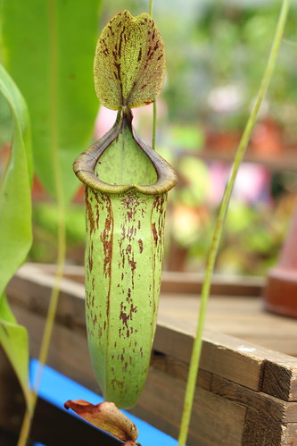 Nepenthes cv. Morganiana