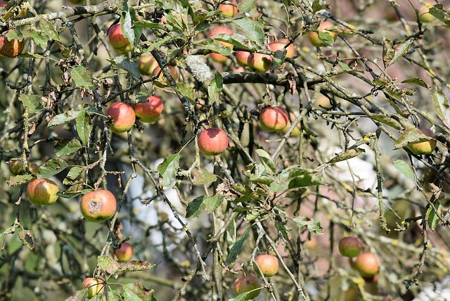 Apple Tree 23.09.2016