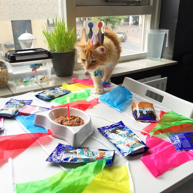 Sintra the Cat 2nd birthday: Not longer afraid of his birthday's candles