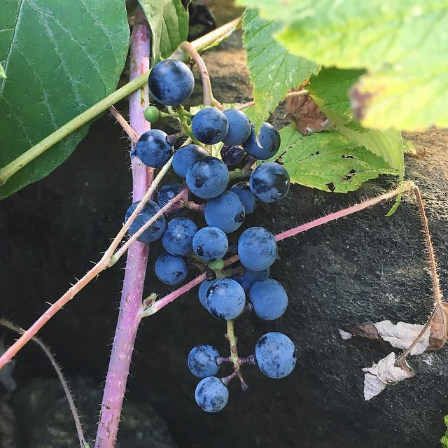 Foraging for wild grapes. 🍇