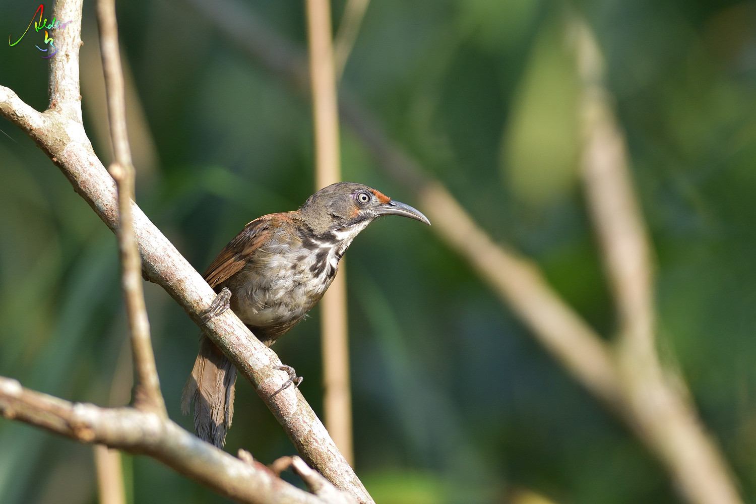 Rusty-cheeked_Scimitar_Babbler_4307