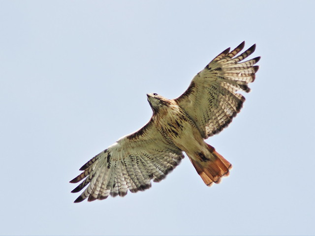 Red-tailed Hawk 01-20160925
