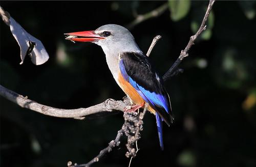 Halcyon leucocephala (Grey-headed Kingfisher)