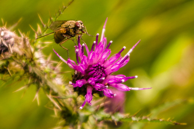 The Fly And The Thistle