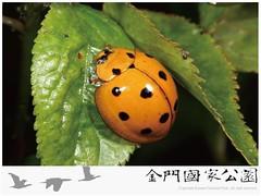 十斑大瓢蟲-01