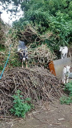 goats in hedge Aug 16 (3)