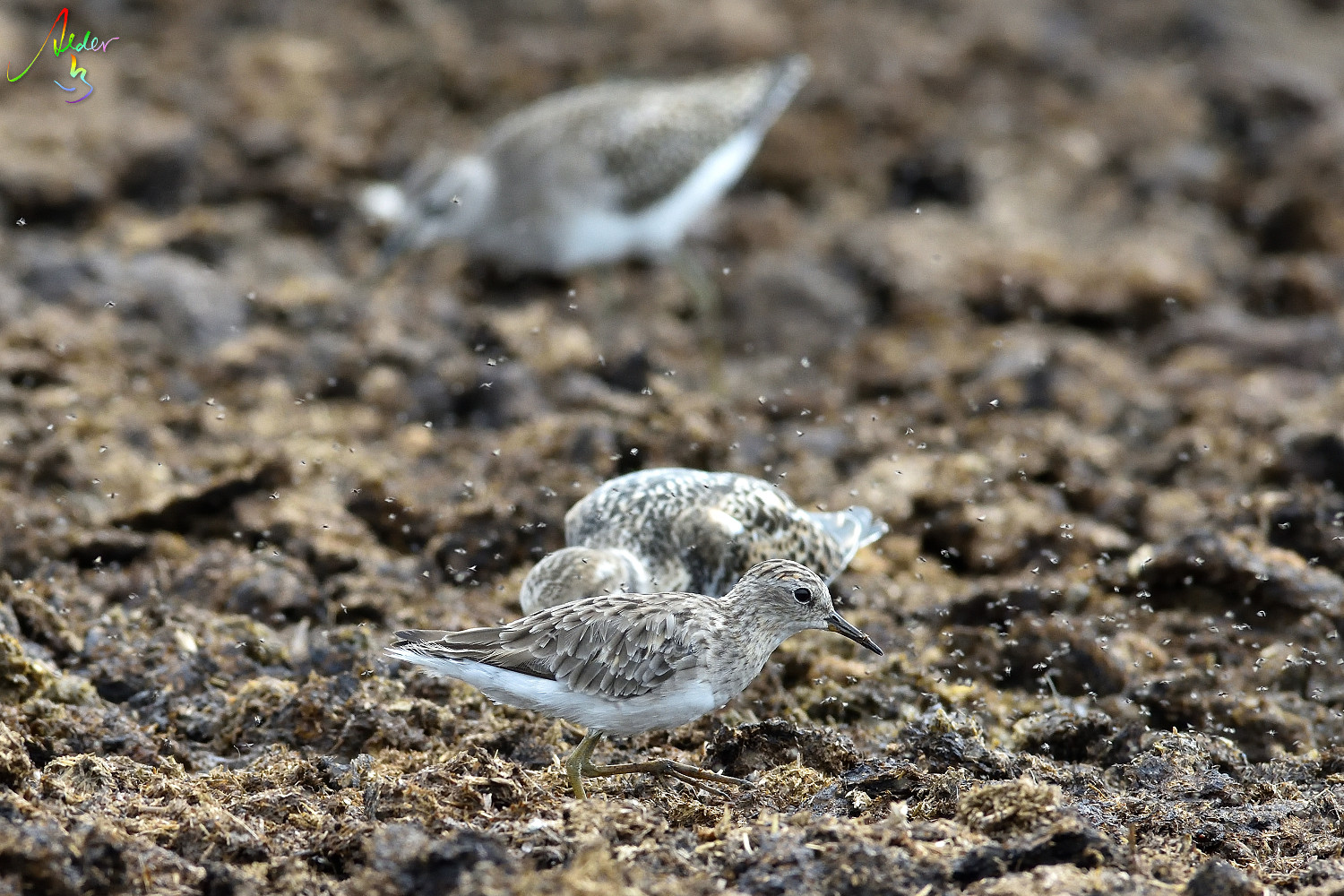 Long_toed_Stint_8516