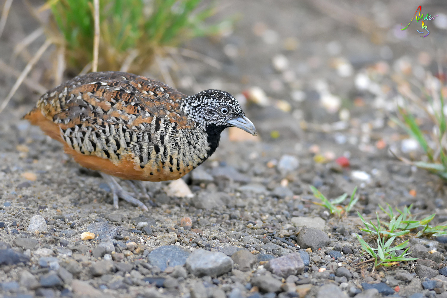 Barred_Buttonquail_1269