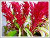 Celosia argentea (Plumed Cockscomb, Silver Cock's Comb, Woolflowers, Troublesome Weed)
