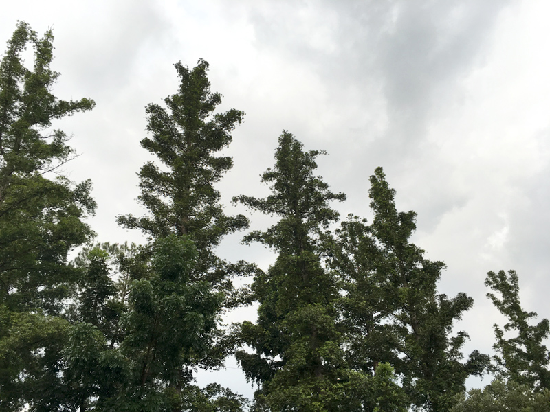 trees in bandung
