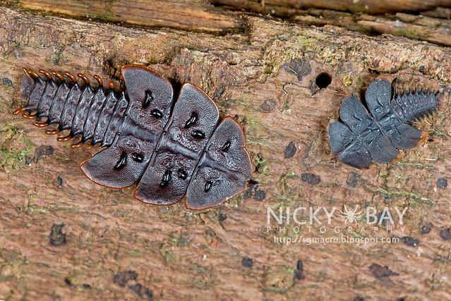 Trilobite beetle larvae (Platerodrilus ruficollis) - DSC_1811