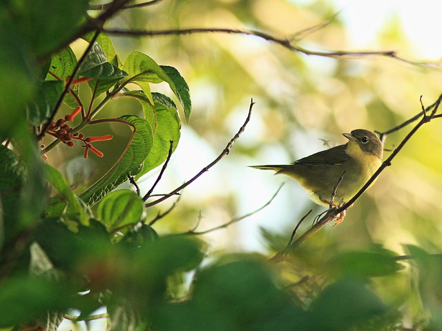 Common Yellowthroat in Firebrush 2-20160917