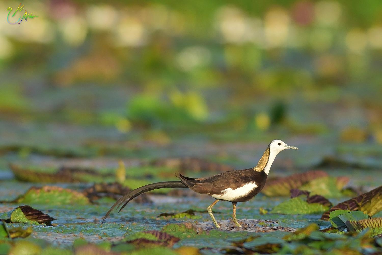 Pheasant-tailed_Jacana_2237
