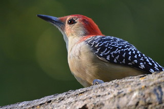 A Male Red Bellied Woodpecker - A Wildlife Art Print | by Stu Willard