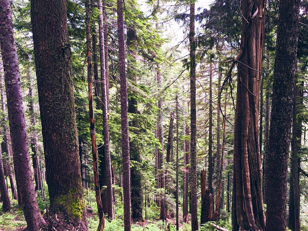 Trees along the Howe Sound Crest Trail