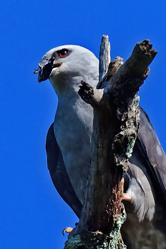 N.J.: Mississippi Kite Eating Breakfast