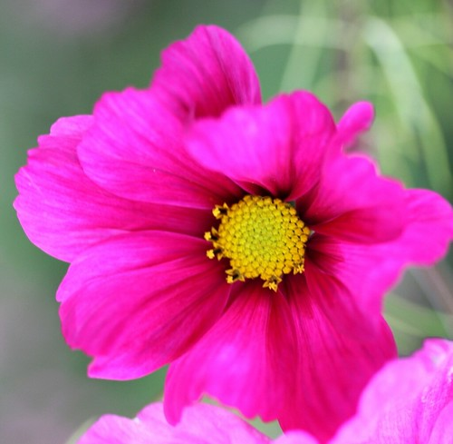 Pink Cosmos | by Raglan Road .