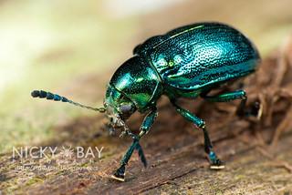 Leaf beetle (Eumolpinae) - DSC_4338