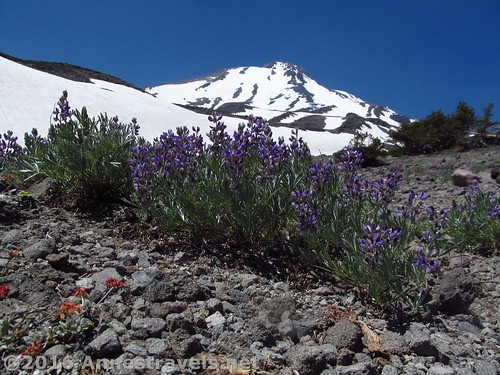 Lupines below Mt. Shasta and Butte 9000, Shasta-Trinity National Forest, California