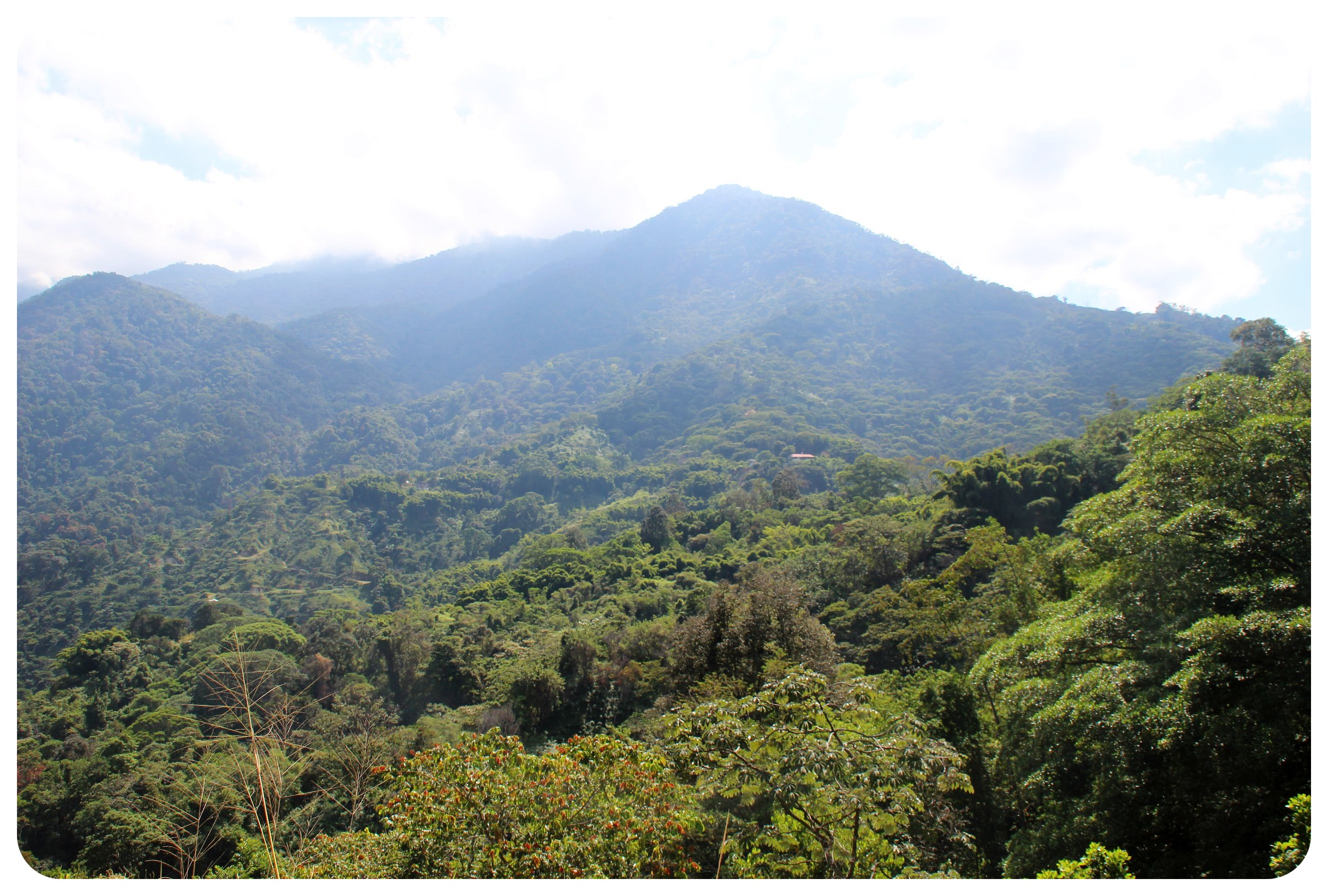 finca victoria coffee plantation