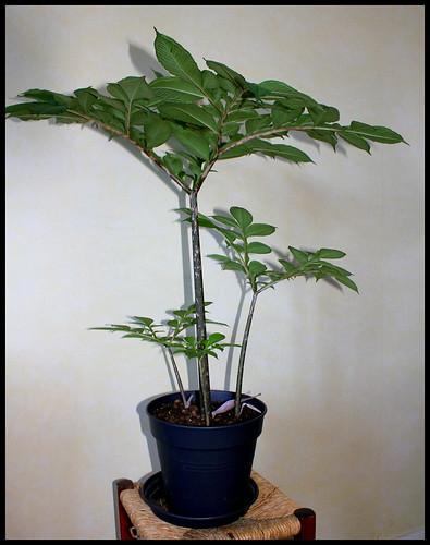 Amorphophallus Konjac (2)