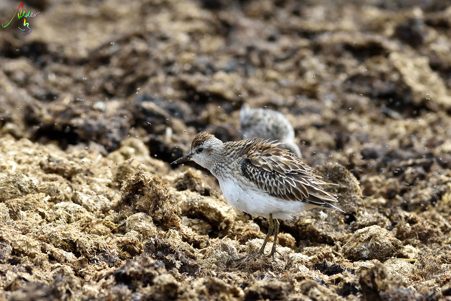 Long-toed_Stint_8275