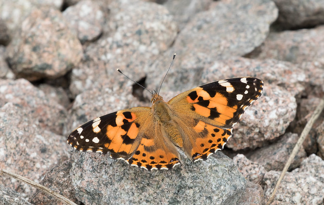 Painted Lady Butterfly 054 (1096)