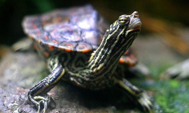 Map Turtle - Shedd Aquarium