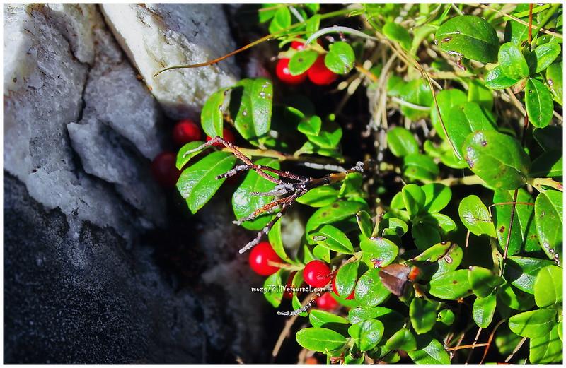 ...cranberries on the ridge Zyuratkul