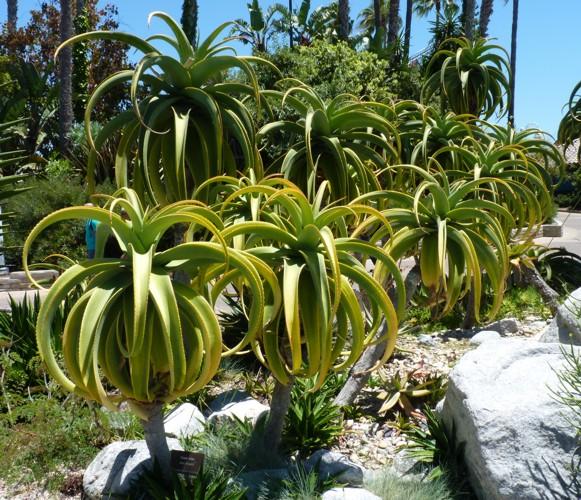 Aloe thraskii 28954214985_b3e888521f_o