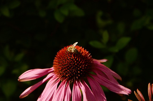 Echinacea with bee 10.08.2016