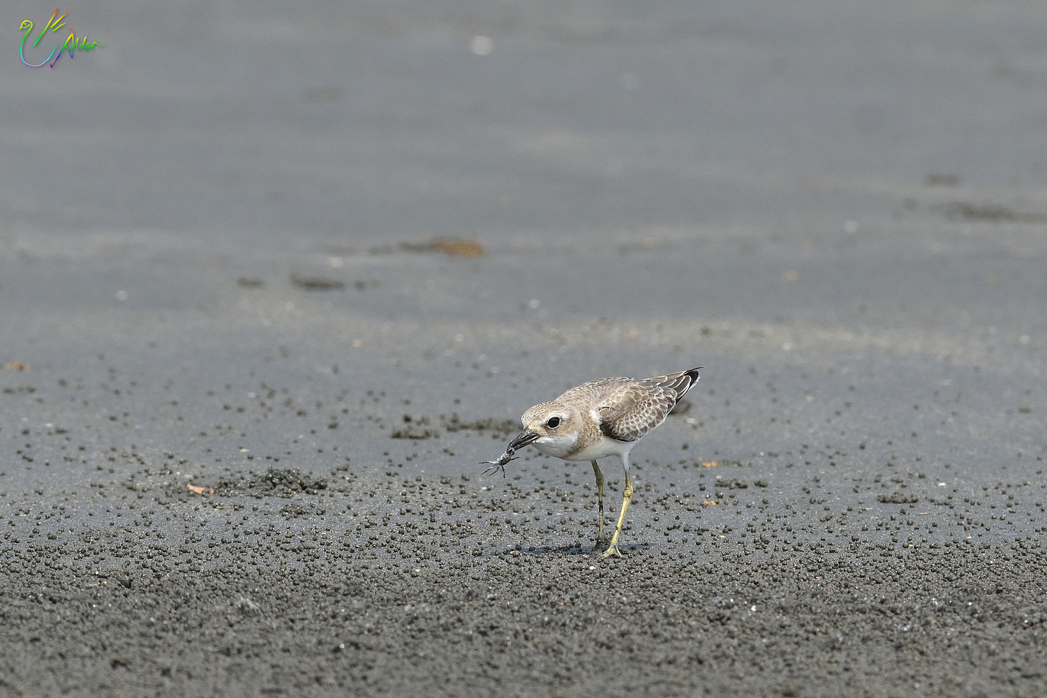 Greater_Sand_Plover_2155