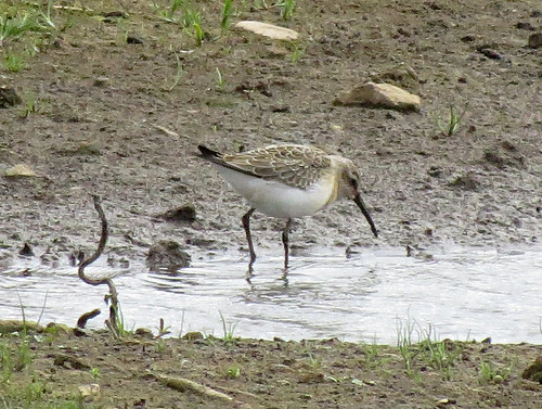Curlew Sandpiper Calidris ferruginea Tophill Low NR, East Yorkshire August 2016