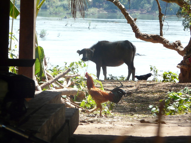 Barnyard animals in a riverside village in Stung Treng on the upper Mekong in Cambodia. Photo by Charles Crissman, 2011.