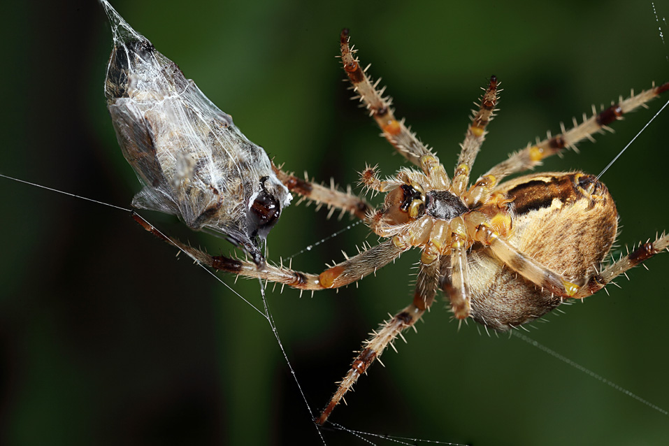 Spider in web with prey - photo#38