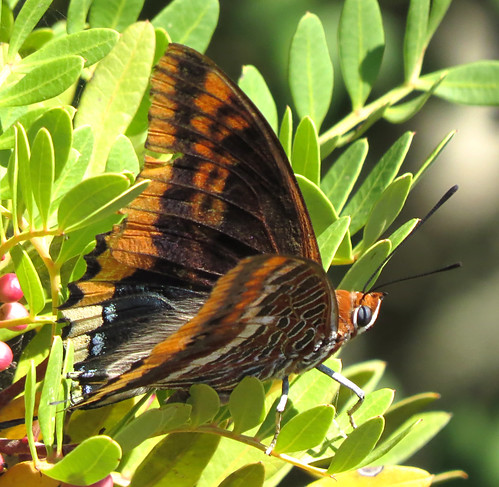 Two-tailed Pasha Charaxes jasius Barao San Joao, Algarve September 2016